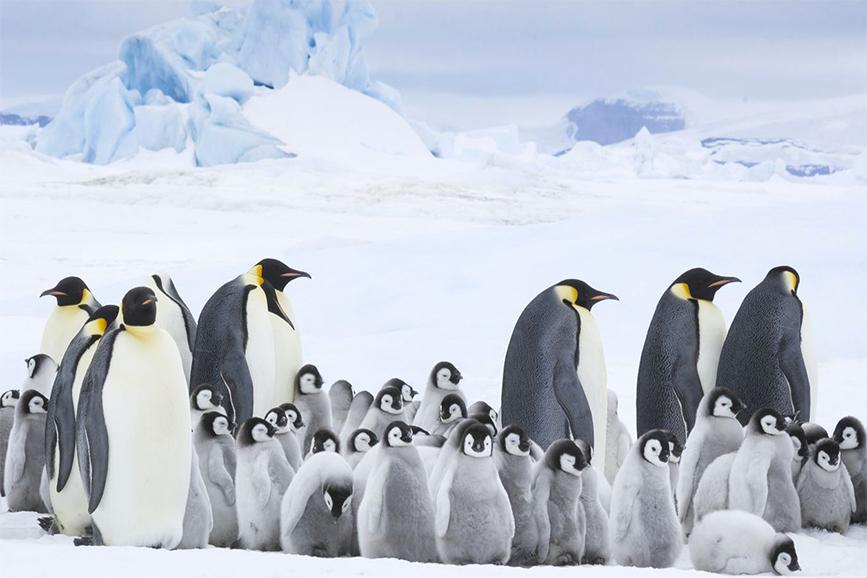 La marcia dei pinguini - Il richiamo (foto)